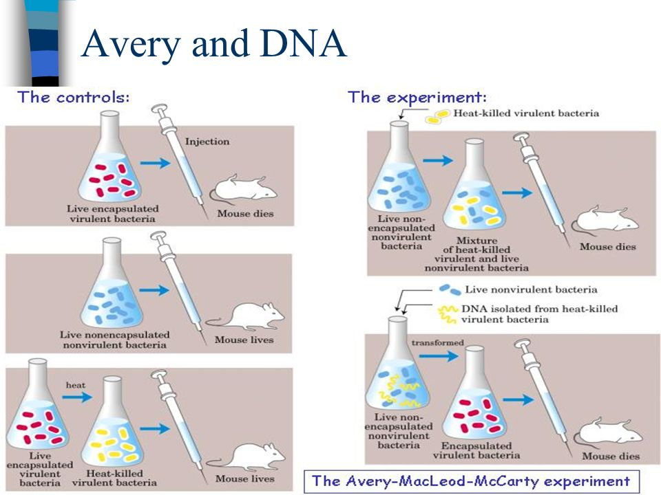 Avery and DNA For the next 14 years, American bacteriologist Oswald Avery tried to identify the transforming substance.