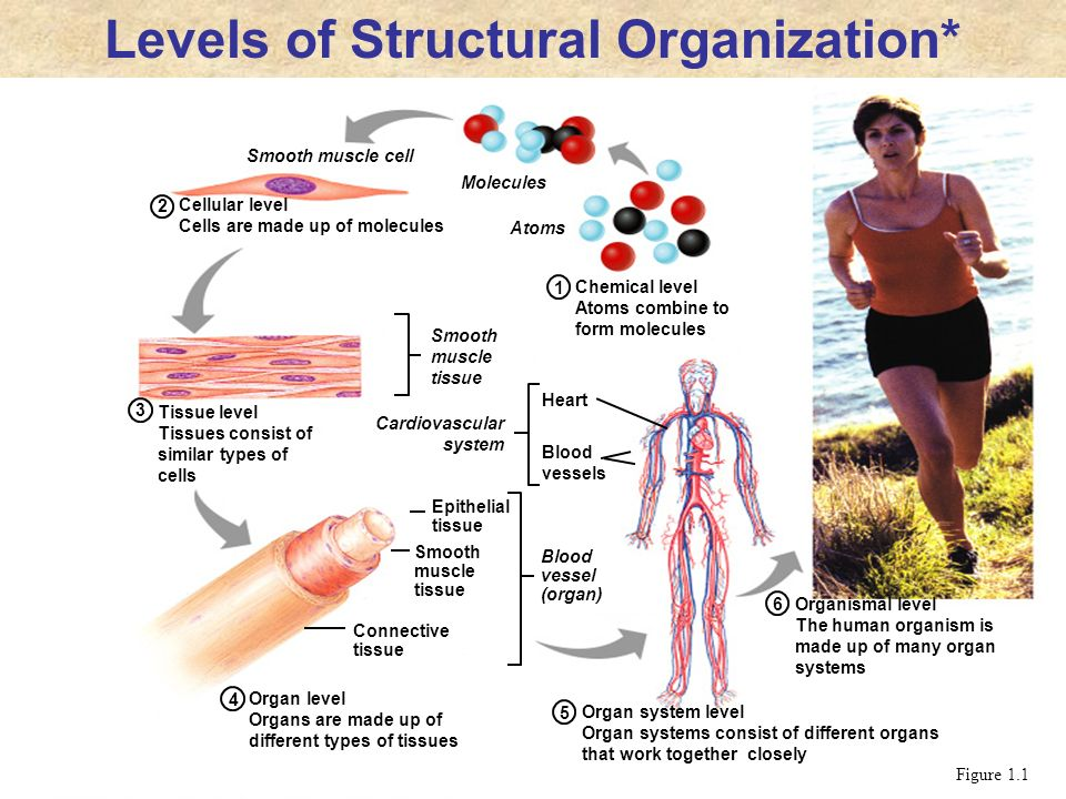 Levels of Structural Organization*