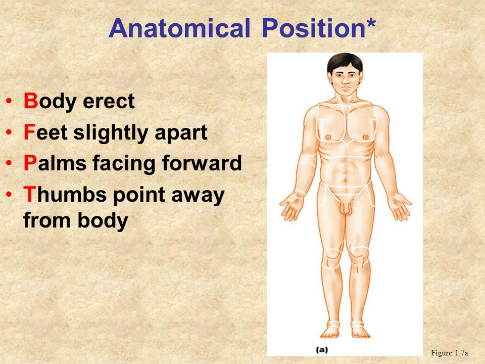 Anatomical Position* Body erect Feet slightly apart