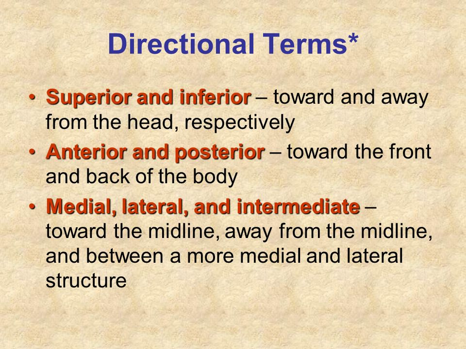 Directional Terms* Superior and inferior – toward and away from the head, respectively.