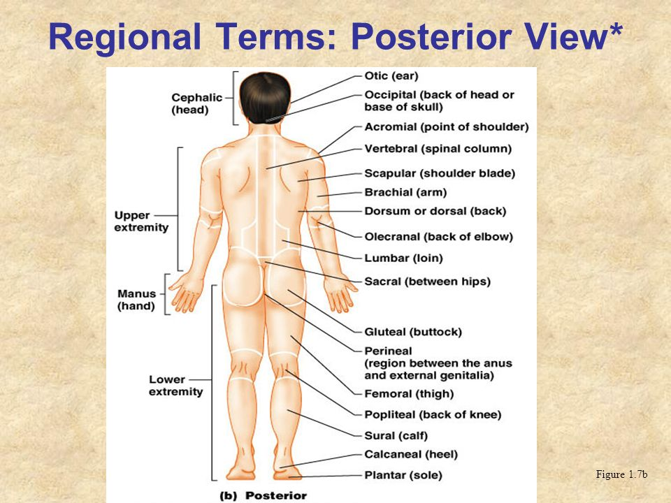 Regional Terms: Posterior View*
