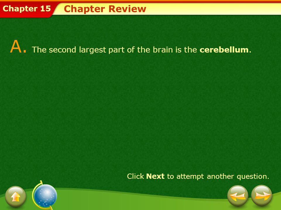 A. The second largest part of the brain is the cerebellum.
