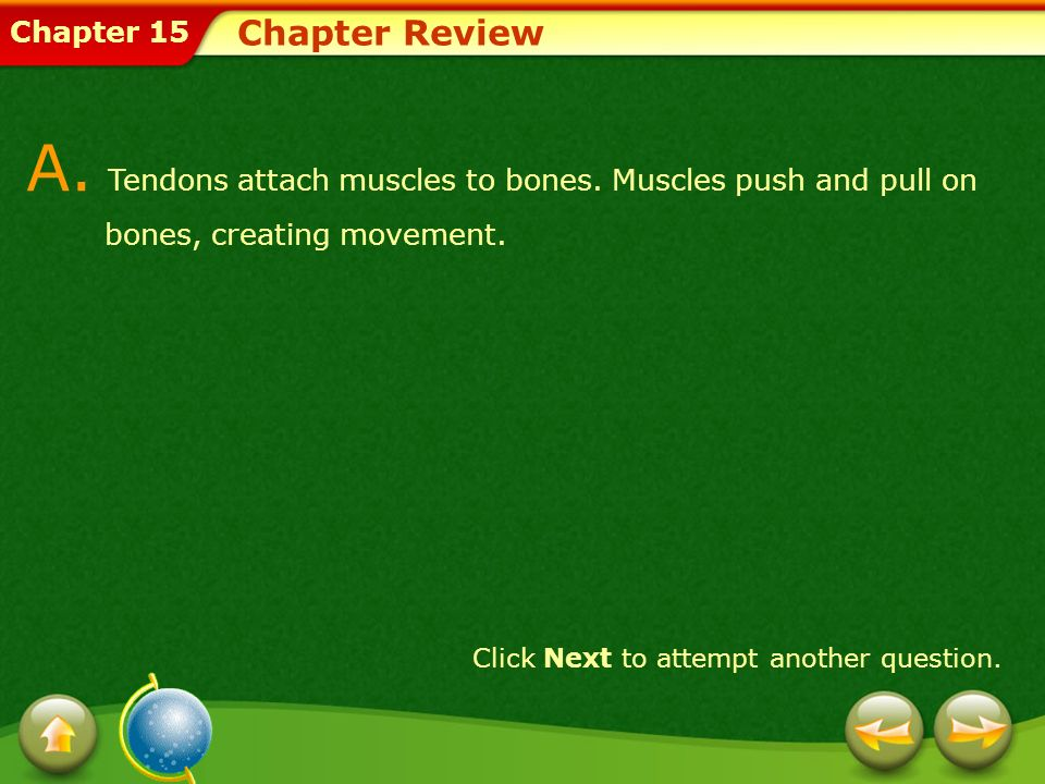 Chapter Review A. Tendons attach muscles to bones. Muscles push and pull on bones, creating movement.