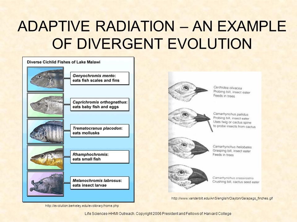 ADAPTIVE RADIATION – AN EXAMPLE OF DIVERGENT EVOLUTION