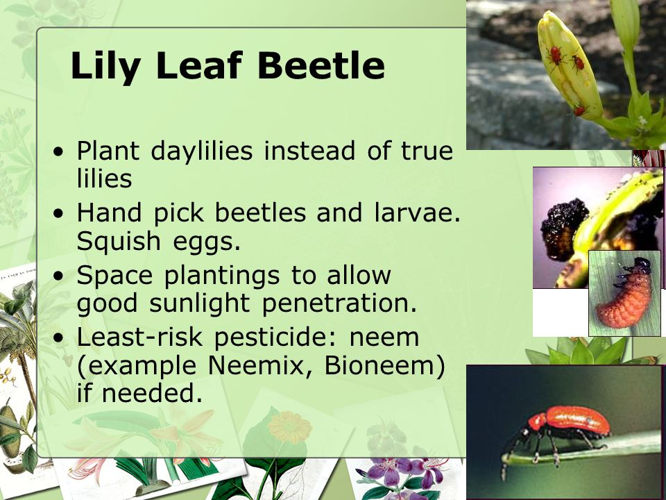 Lily Leaf Beetle Plant daylilies instead of true lilies