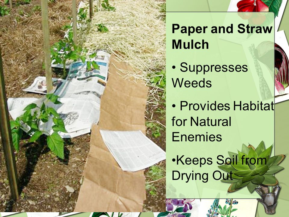 Paper and Straw MulchSuppresses Weeds.Provides Habitat for Natural Enemies.