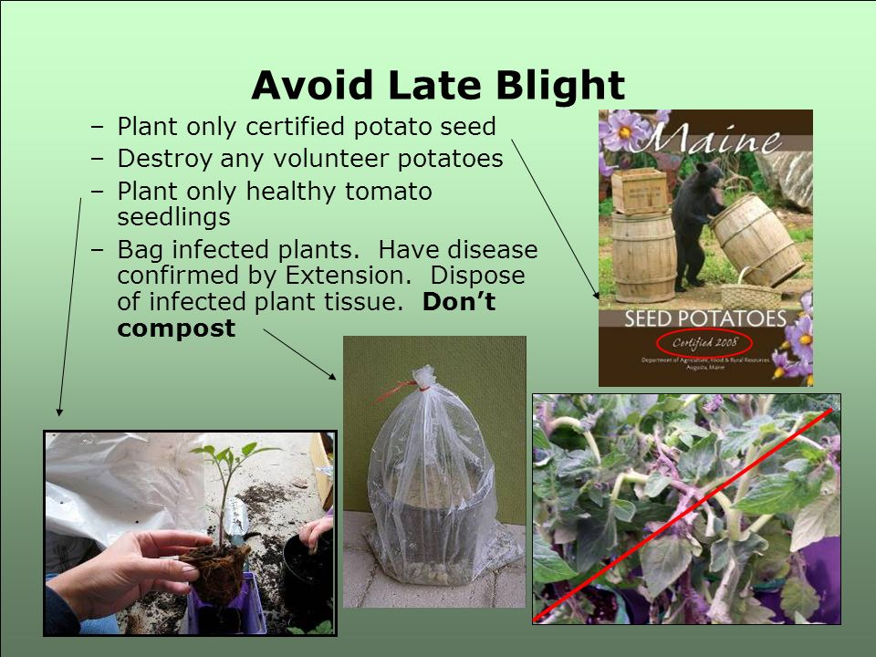 Avoid Late Blight Plant only certified potato seed