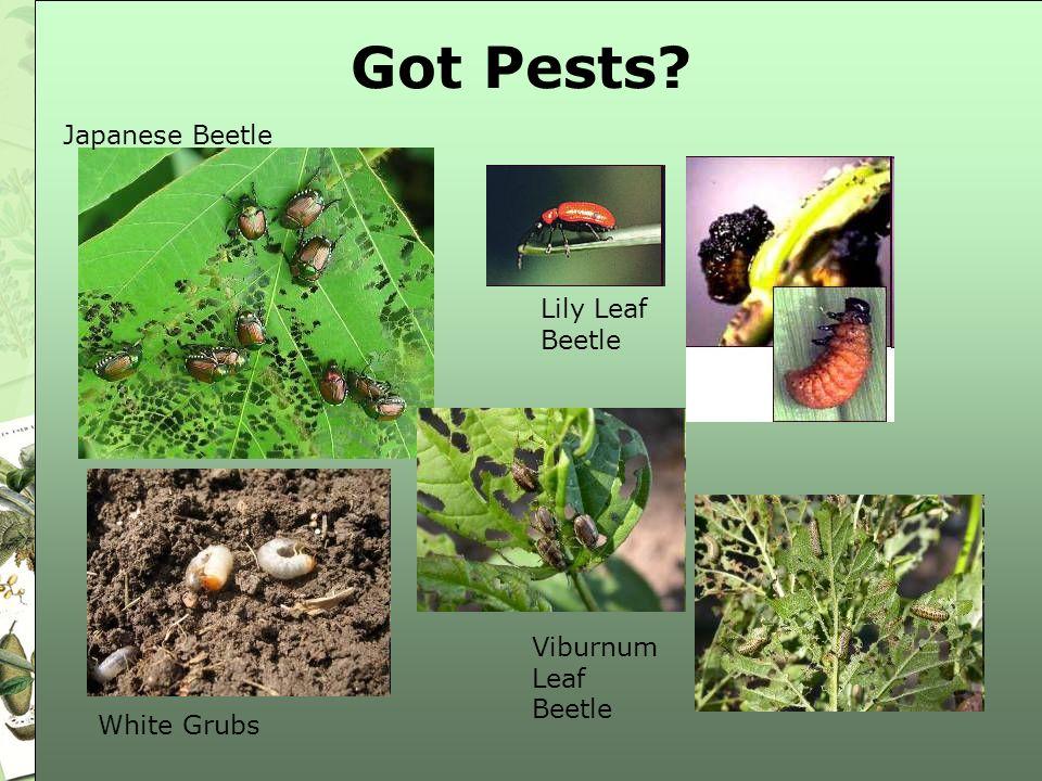 Got Pests Japanese Beetle Lily Leaf Beetle Viburnum Leaf Beetle