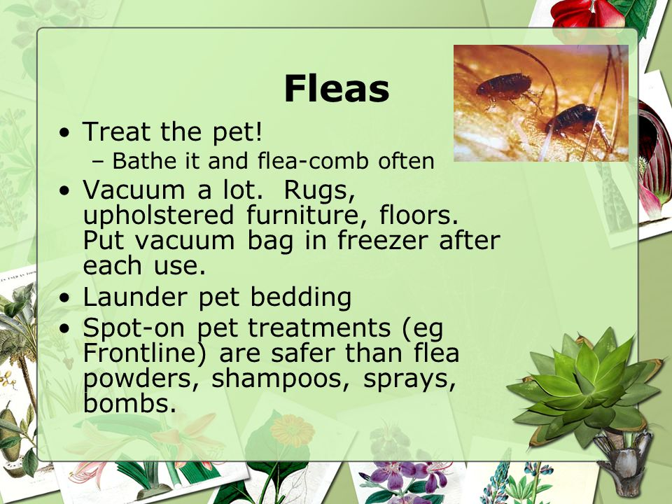 Fleas Treat the pet! Bathe it and flea-comb often. Vacuum a lot. Rugs, upholstered furniture, floors. Put vacuum bag in freezer after each use.