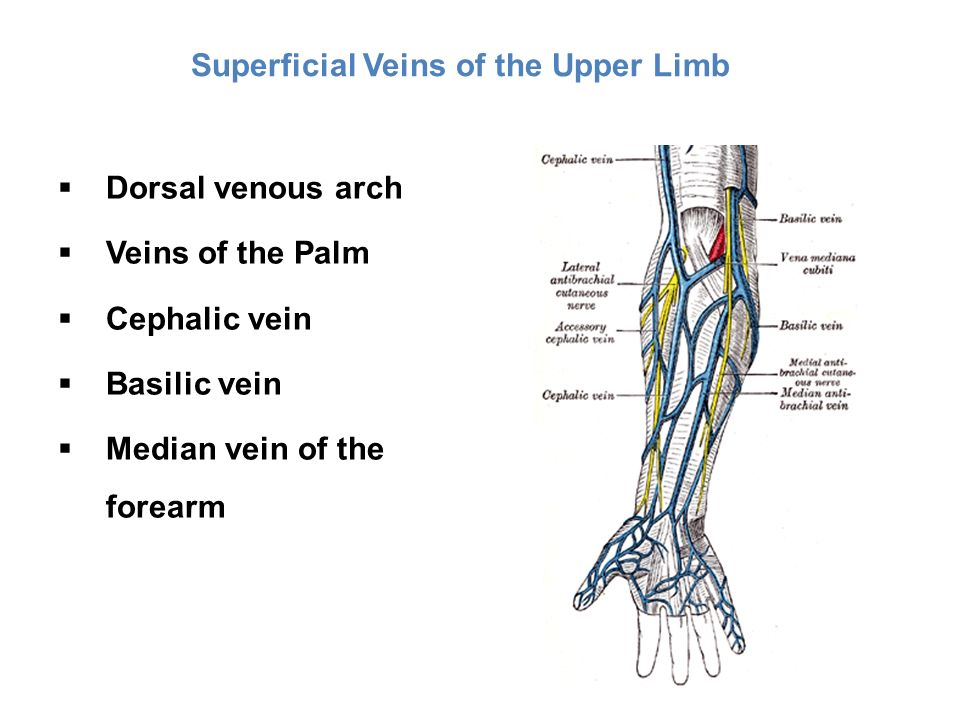 vascular problems of the upper and lower limbs - ppt download, Cephalic Vein
