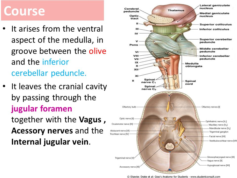 Anatomy of the vagus nerve 9550874 - follow4more.info