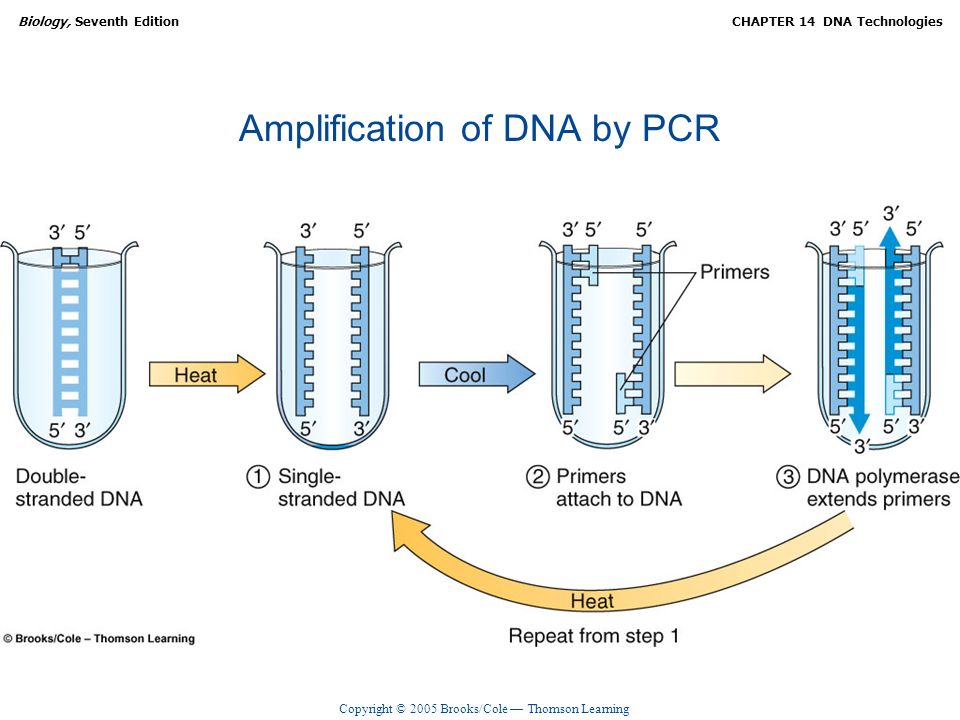 Amplification of DNA by PCR