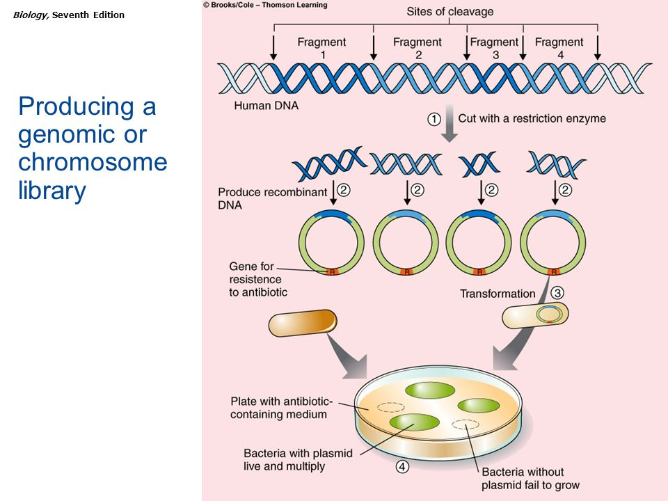 Producing a genomic or chromosome library