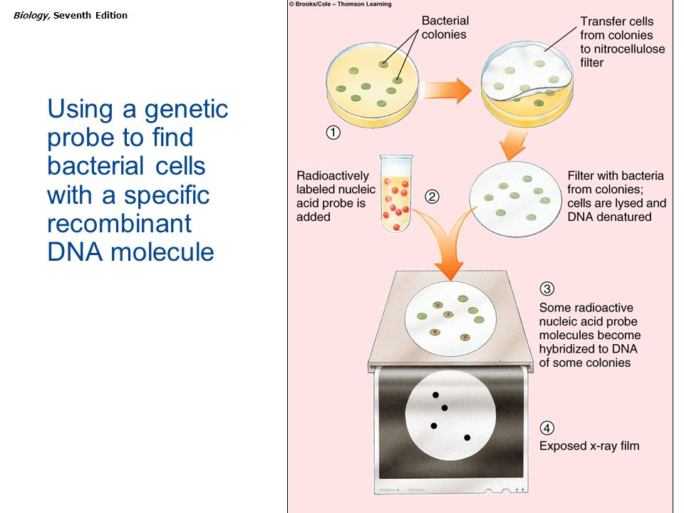Using a genetic probe to find bacterial cells with a specific recombinant DNA molecule