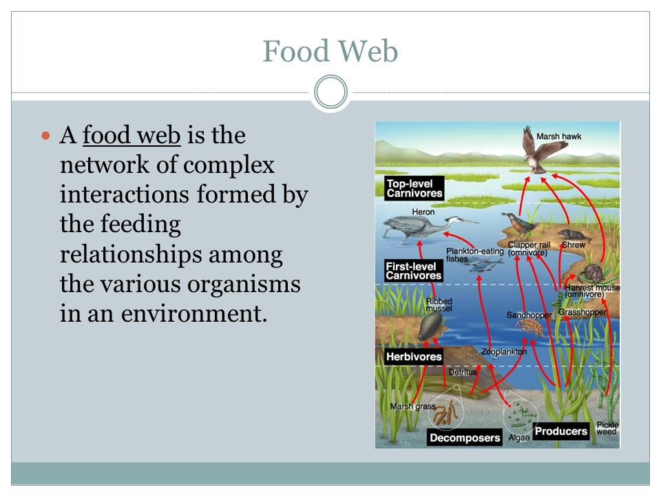 Food Web A food web is the network of complex interactions formed by the feeding relationships among the various organisms in an environment.