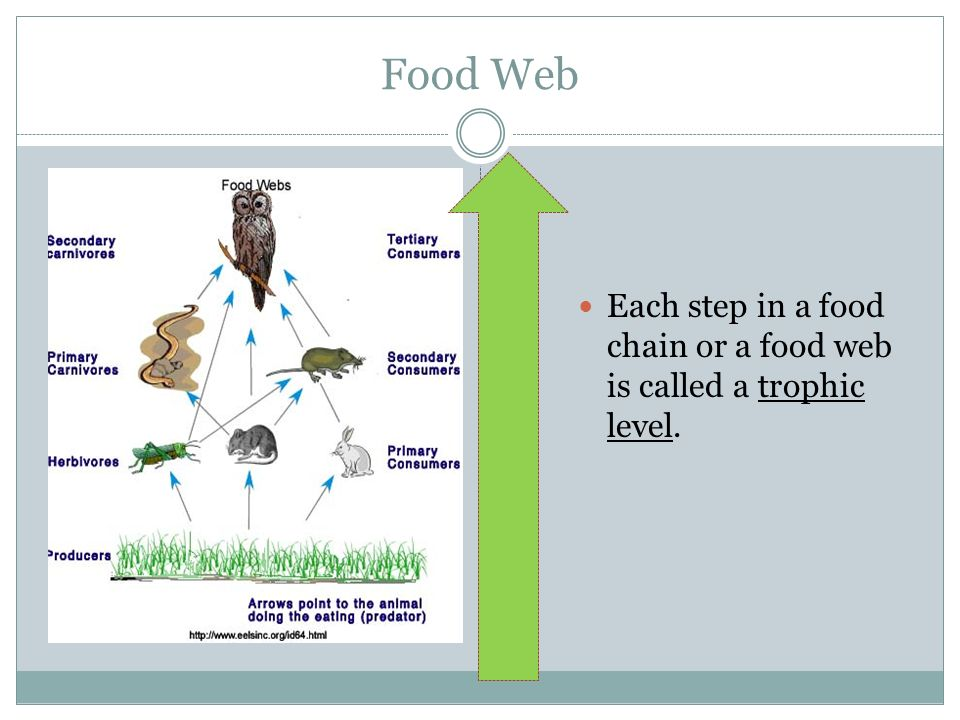 Food Web Each step in a food chain or a food web is called a trophic level.