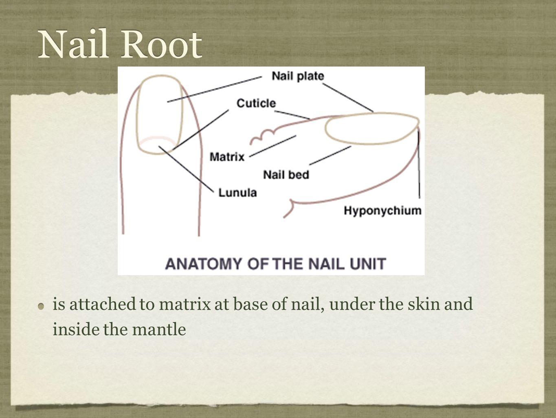 Anatomy Of Nail Choice Image - human body anatomy