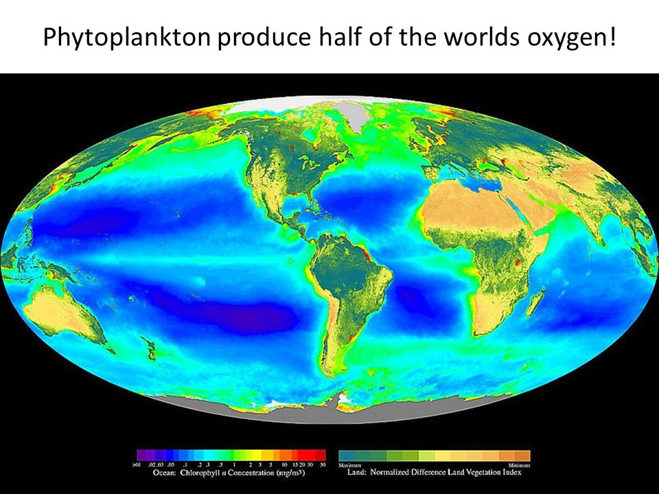 Phytoplankton produce half of the worlds oxygen!