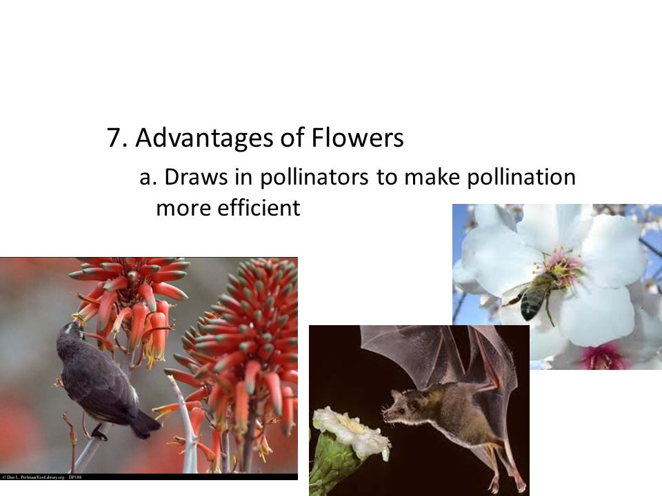 7. Advantages of Flowers a. Draws in pollinators to make pollination more efficient