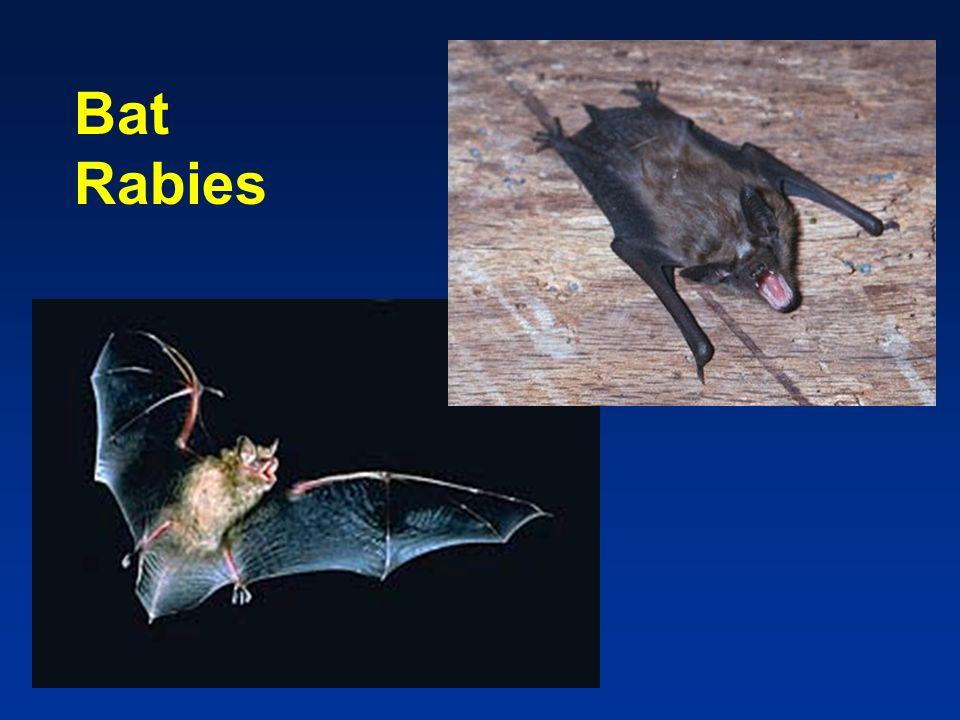 Bat Rabies