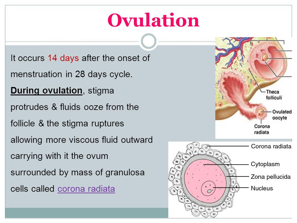 Physiology of Ovarian Cycle GUYTON & HALL, Chapter ppt ...
