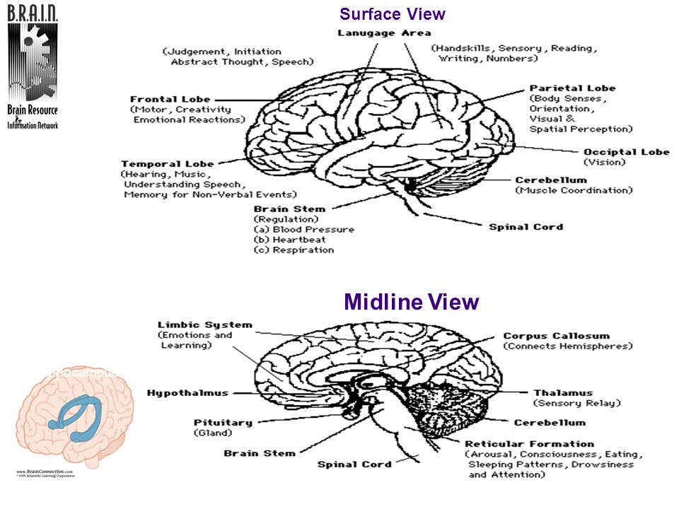 Geography of the Brain Midline View Surface View Hippocampus TRAINER: