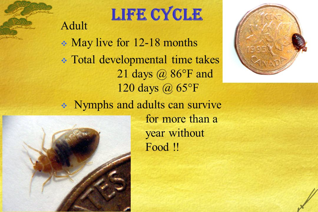 Life Cycle Adult May live for 12-18 months