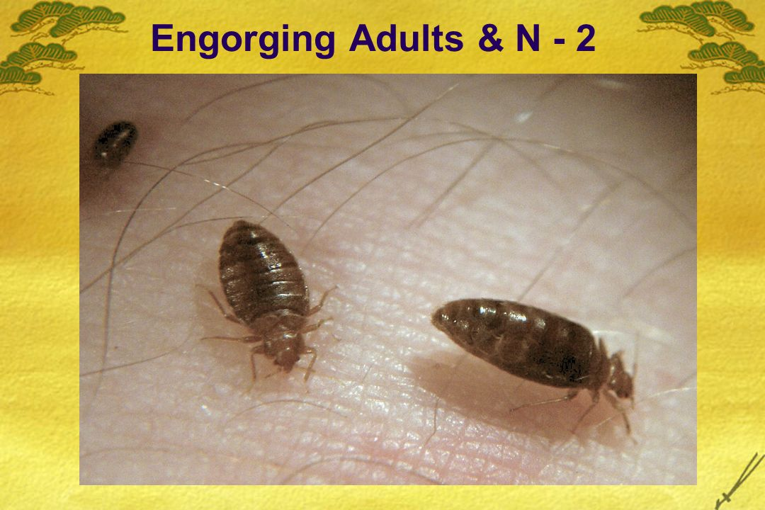 Engorging Adults & N - 2