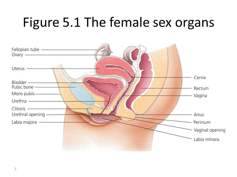 Figure 5.1 The female sex organs
