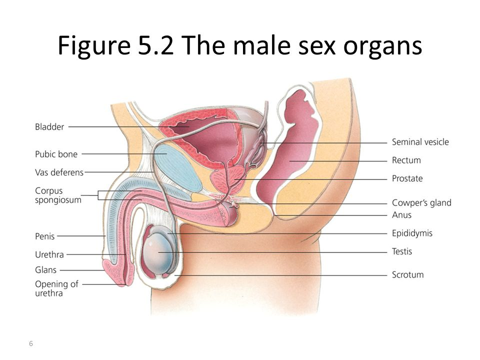 Figure 5.2 The male sex organs
