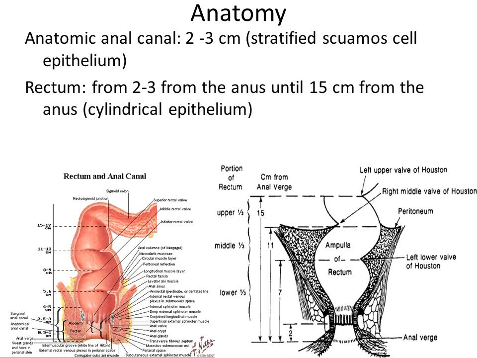 Anatomy of anus