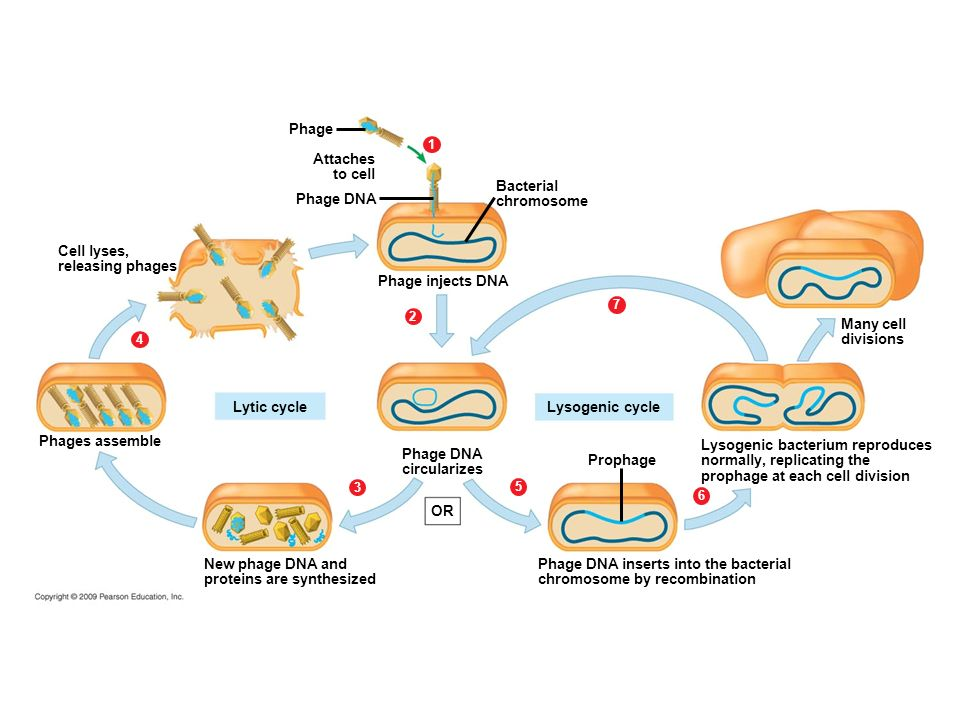 a look at the many divisions and classifications of bacteria Growing culture all the bacteria are viable, ie, capable of division or at least   seem at least probable that in many instances, the measurement  types of lag.