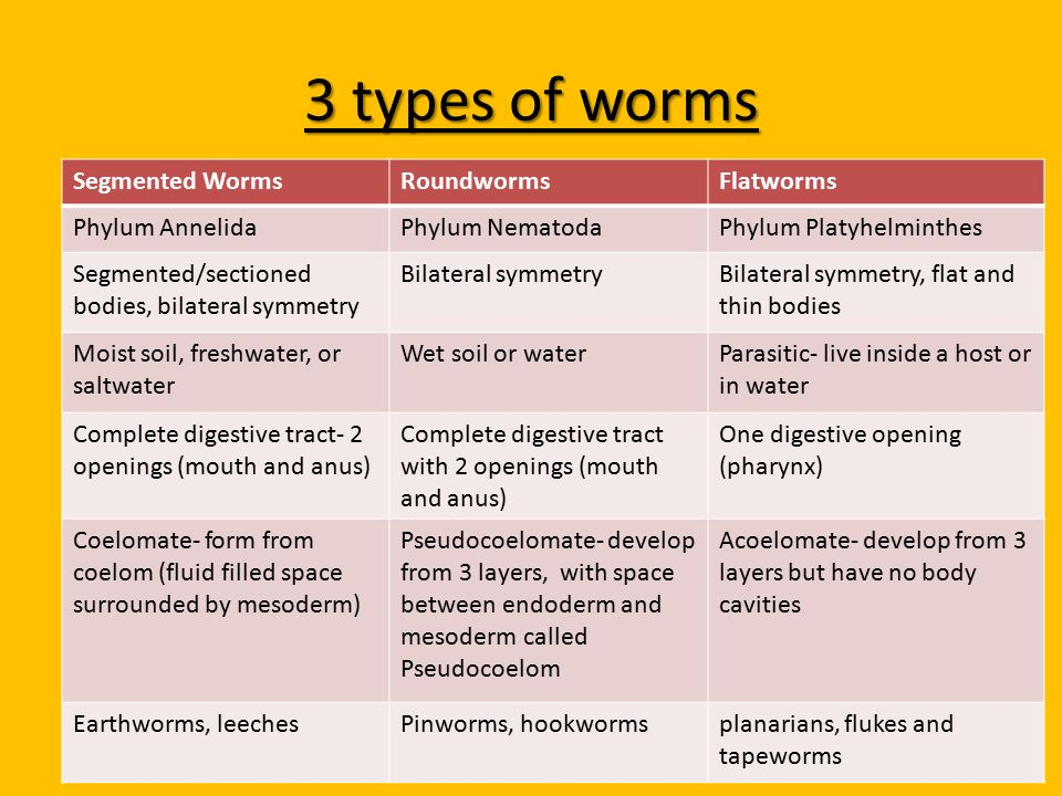 a look at the tapeworm parasites of the phylum platyhelminthes As well as the flukes and tapeworms parasitic in human platyhelminthes a phylum of acoelomate many species are parasitic the phylum contains.
