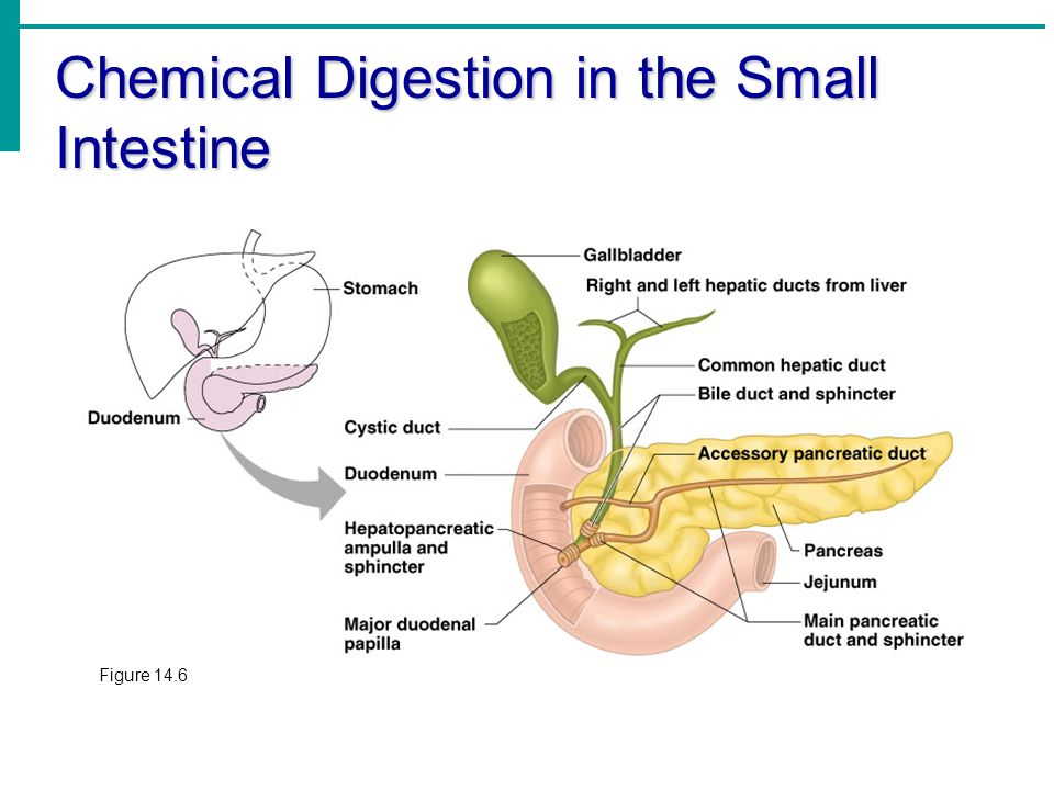 chapter 14 – part 2 the digestive system - ppt download, Cephalic Vein