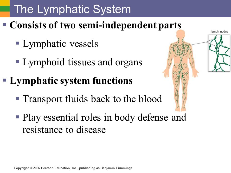 the lymphatic system Lymphatic capillaries lymph transport begins at the very tip of microscopic lymphatic capillariesthese capillaries weave through tissue cells and blood capillaries in loose connective tissues of the body.