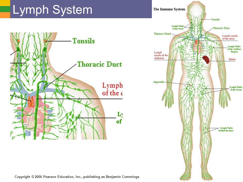 the morphology of the lymphatic system Lymphatic system  vessels   venous system - right lymphatic duct: drains lymph from the right upper arm  morphology lymphoid tissue.