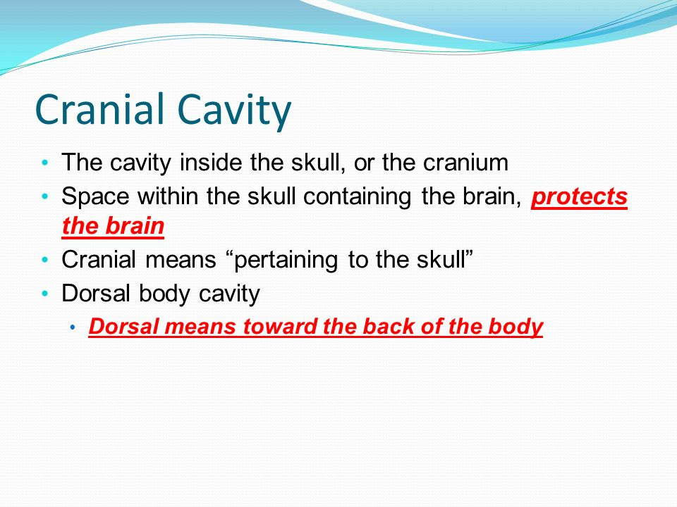 Cranial Cavity The cavity inside the skull, or the cranium