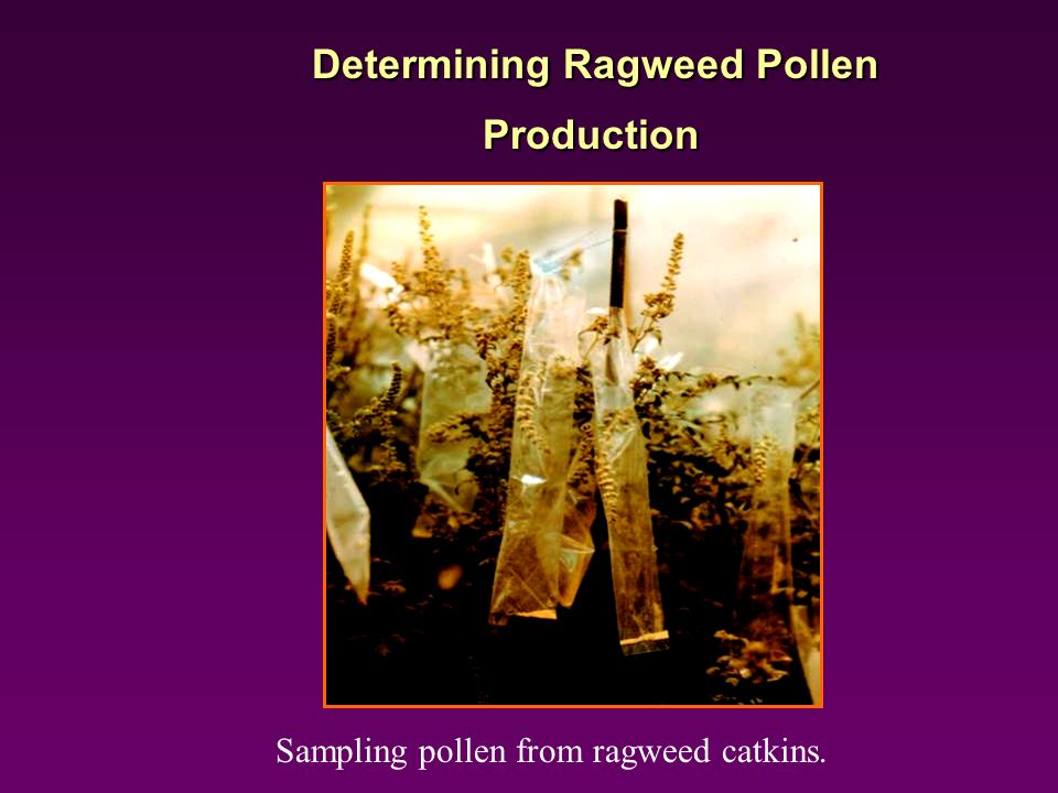Determining Ragweed Pollen Production