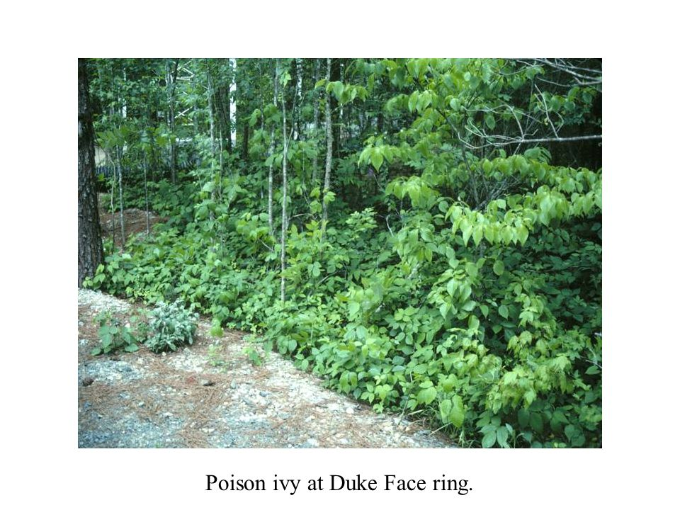 Poison ivy at Duke Face ring.