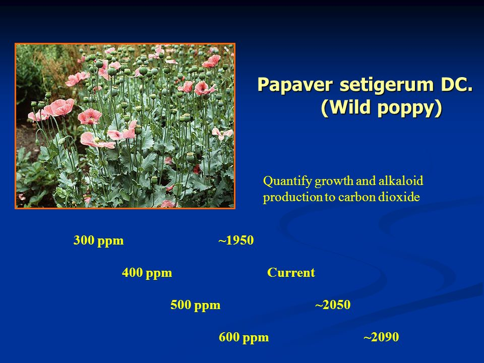 Papaver setigerum DC. (Wild poppy)