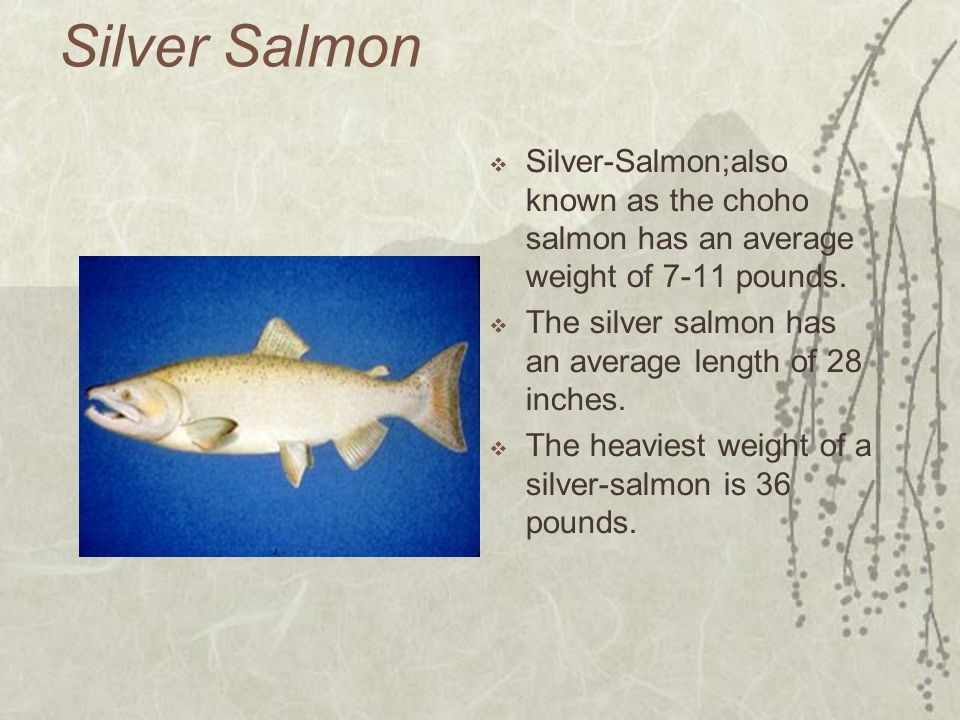 Silver Salmon Silver-Salmon;also known as the choho salmon has an average weight of 7-11 pounds.
