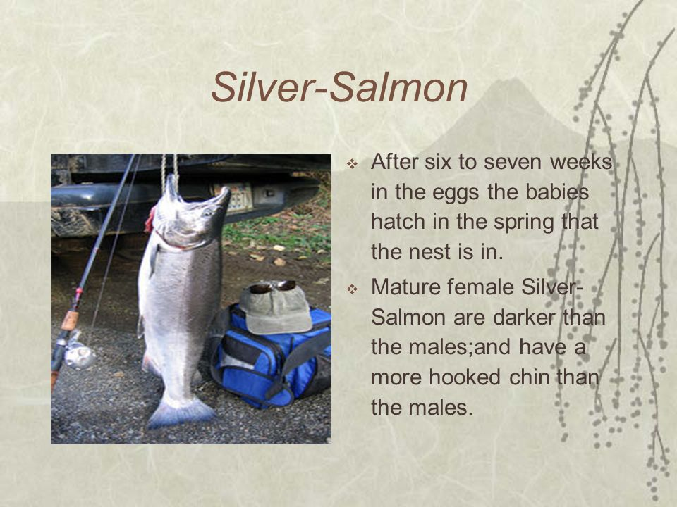 Silver-Salmon After six to seven weeks in the eggs the babies hatch in the spring that the nest is in.