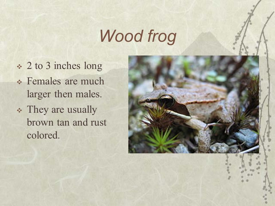 Wood frog 2 to 3 inches long Females are much larger then males.