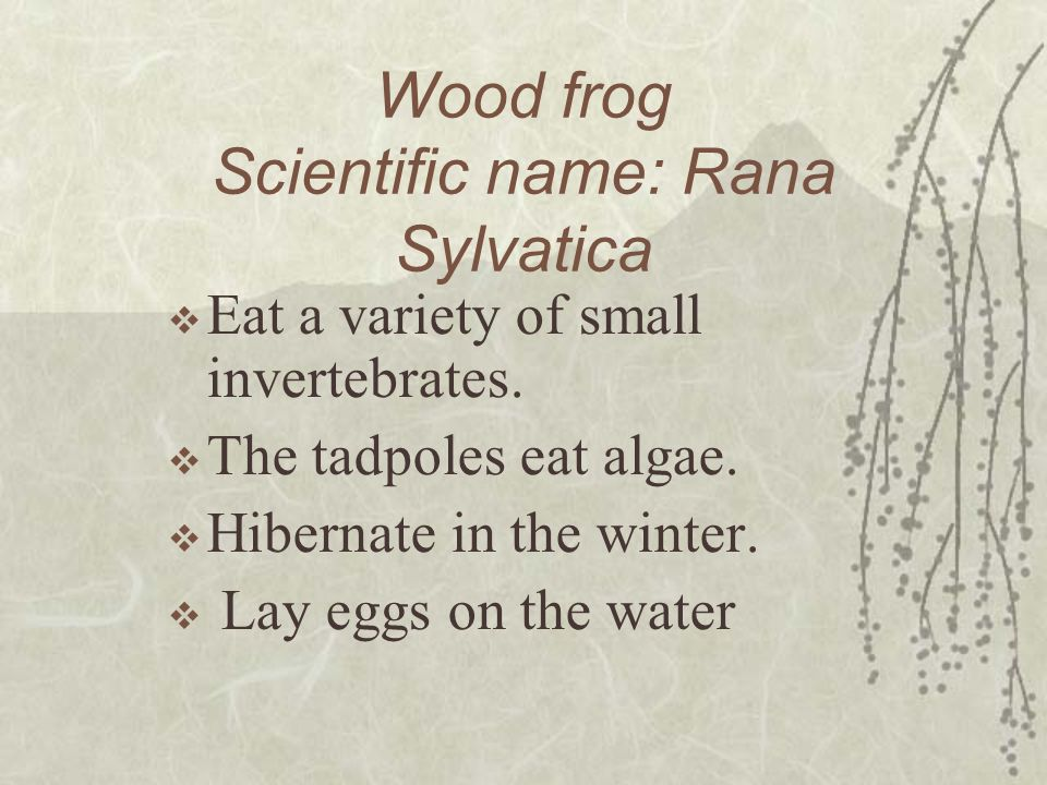 Wood frog Scientific name: Rana Sylvatica