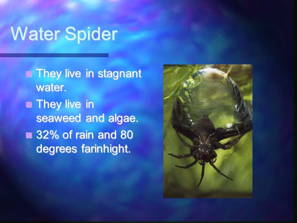 Water Spider They live in stagnant water.