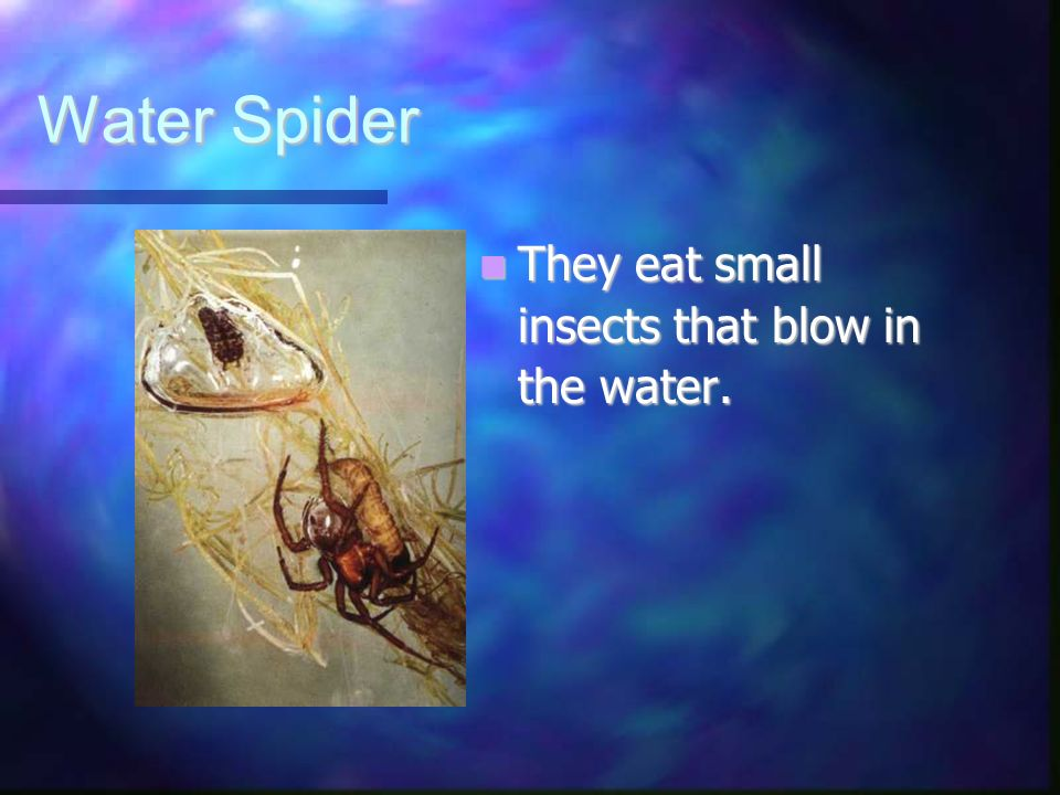 Water Spider They eat small insects that blow in the water.