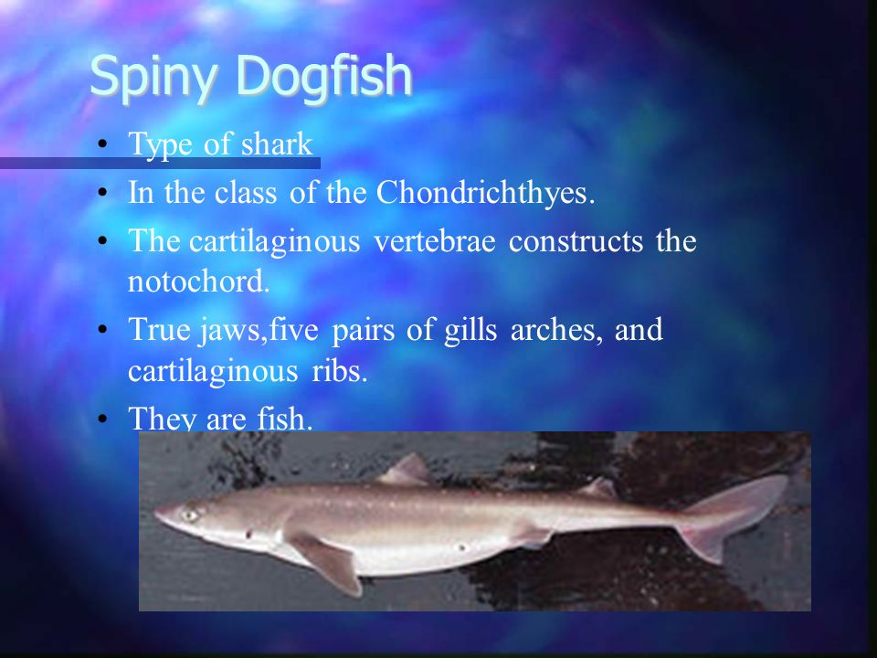 Spiny Dogfish Type of shark In the class of the Chondrichthyes.