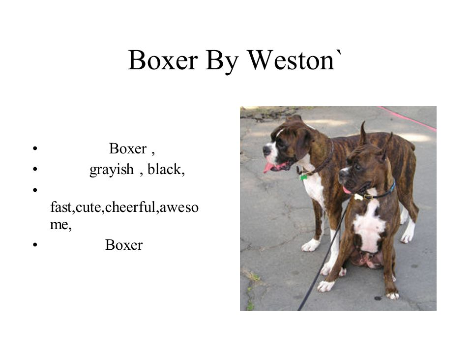 Boxer By Weston` Boxer , grayish , black, fast,cute,cheerful,awesome,