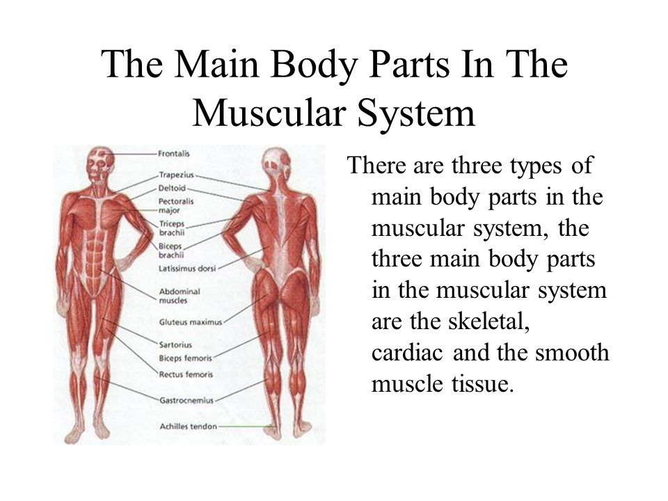 the three main types of muscles in the muscular system