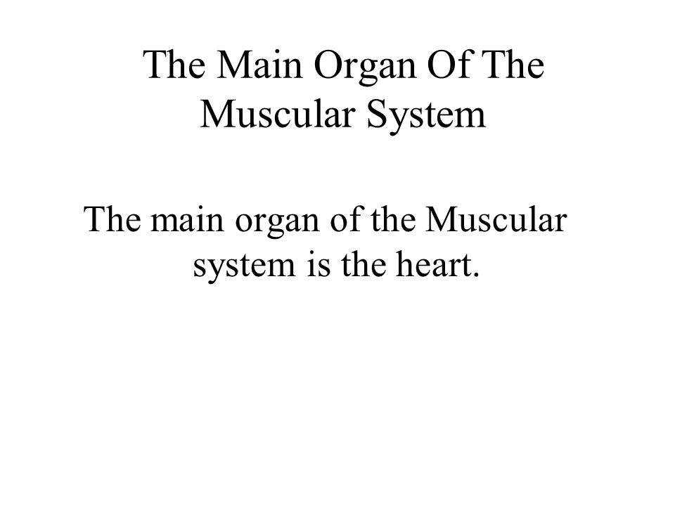 The Main Organ Of The Muscular System